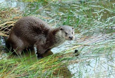 Anglers call on new weapon to ward otters off their fish – lions | Freshwater and Fishery Management | Scoop.it
