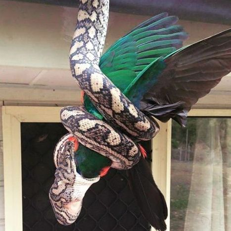 Amazing photos capture carpet python consuming King parrot | All Things Zygodactyl | Scoop.it