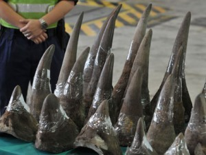 Man, Son Plead Guilty To Smuggling Rhino Horns « CBS Los Angeles | Save our Rhino and all animals...this is what it looks like!!!!! | Scoop.it