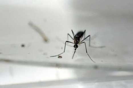 Les moustiques femelles peuvent transmettre le Zika à leurs œufs et à leur progéniture | EntomoNews | Scoop.it