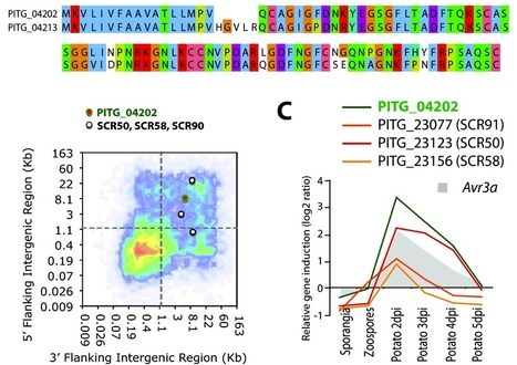 BMC Genomics: Analyses of genome architecture and gene expression reveal novel candidate virulence factors in the secretome of Phytophthora infestans | Publications | Scoop.it