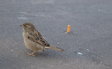 Birds Using Cigarettes To Build Their Nexts in Mexico | Birdwatching and habitat | Scoop.it