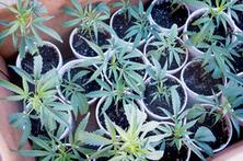 Photos: California marijuana farms provoke concern   marijuanas   Scoop.it