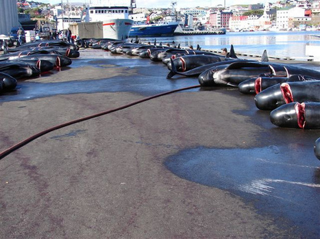 Noticias de ecologia y medio ambiente | La sangrienta excusa de la caza de ballenas | Agua | Scoop.it