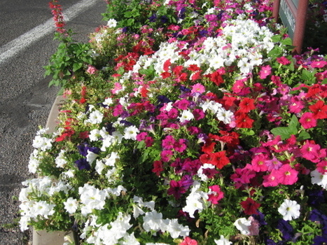 GV Gardeners: Cool-weather annuals add garden color - Green Valley News | Back Yard Gardening | Scoop.it