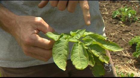 Late blight confirmed at Vermont farm | Potato | Scoop.it