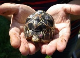Stop Meat and Pet Trade of Endangered Radiated Tortoise - ForceChange | Wildlife and Environmental Conservation | Scoop.it