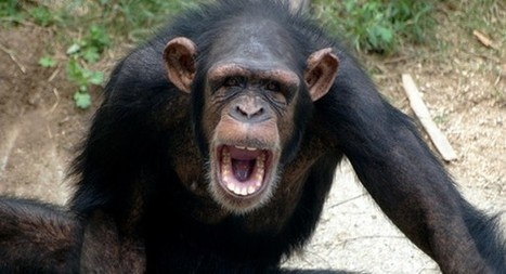 All chimps are now endangered: here's the shocking reason why | Criminology and Economic Theory | Scoop.it