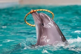 Dolphins Crying for Help: What Marine Parks Don't Want You To Know | Dolphins | Scoop.it