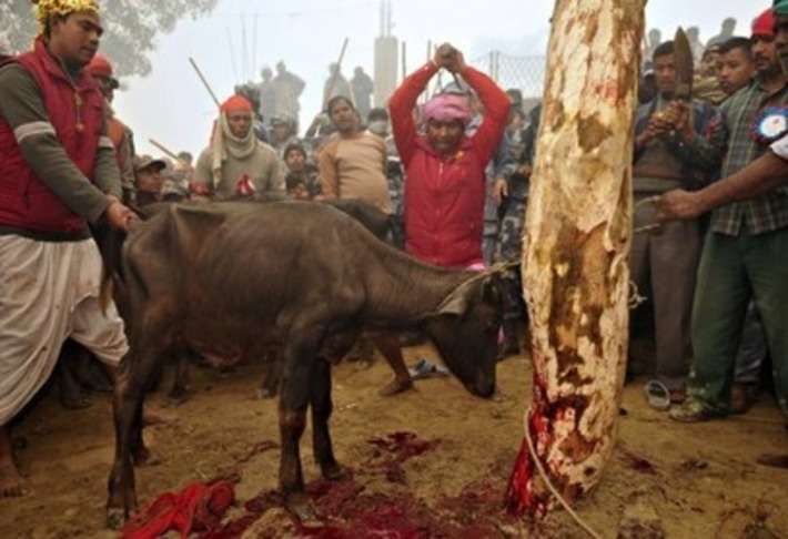 A small village in Nepal is set to make the largest animal sacrifice in the world | The Washington Post | Asie | Scoop.it