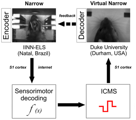 A Brain-to-Brain Interface for Real-Time Sharing of Sensorimotor Information | Neuroscience_topics | Scoop.it