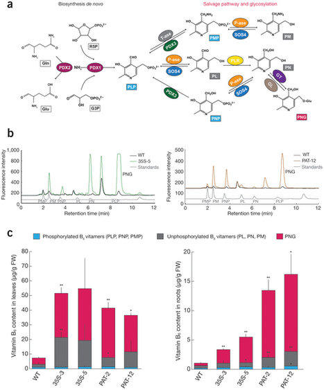 Increased bioavailable vitamin B6 in field-grown transgenic cassava for dietary sufficiency : Nature Biotechnology : Nature Publishing Group | plant cell genetics | Scoop.it