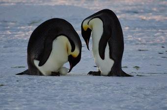 Mireille au pays des manchots: Les premiers œufs ! #Antarctique #manchot empereur #TAAF #DDU | Arctique et Antarctique | Scoop.it
