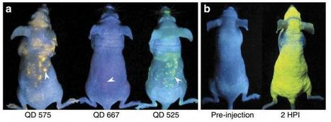 """Skin-deep but """"Illuminating"""": Gold Nanoparticles in the Skin may help Estimate Levels of Organ Accumulation 
