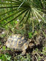 Alliberen 333 exemplars de tortuga mediterrània al Parc del Garraf . L'informatiu dels parcs. Xarxa de Parcs Naturals. Diputació de Barcelona. | Agua | Scoop.it