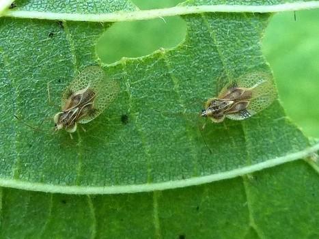 Photo de Punaise à dentelle : Punaise réticulée du tilleul - Gargaphia tiliae - Linden Lace Bug | Fauna Free Pics - Public Domain - Photos gratuites d'animaux | Scoop.it