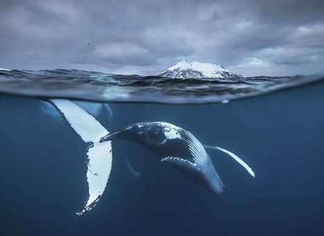Audun Rikardsen Captures Magnificent Whales on The Arctic Side | PhotoHab | Scoop.it