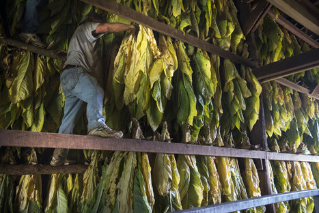 Ebola Drug Made From Tobacco Plant Saves U.S. Aid Workers | Virology News | Scoop.it