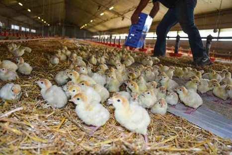 La production française de volailles progresse en 2015 - Journal Paysan Breton | De la Fourche à la Fourchette (Agriculture Agroalimentaire) | Scoop.it