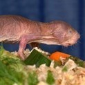 The stretchy skin of naked mole rats may hold the key to fighting cancer - The Week Magazine | Proteoglycans | Scoop.it