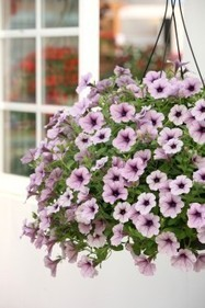 Hanging Flower Baskets from The Suntory® Collection Make Everyday a Celebration | Garden Media Group | Scoop.it