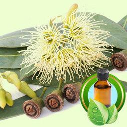 Eucalyptus Globulus 80/82  ESSENTIAL OIL | Essential-Oils | Scoop.it