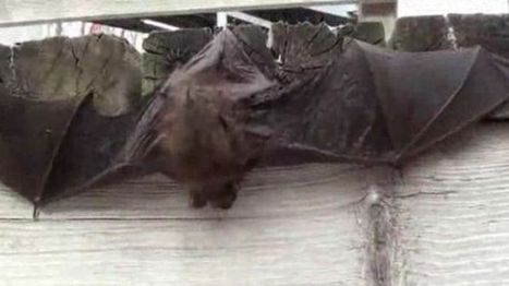 Northern California bat population declining amid drought conditions - Fox News | Bat Biology and Ecology | Scoop.it