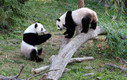 Conservation of Endangered Giant Pandas in China | volunteering opportunities abroad | Scoop.it
