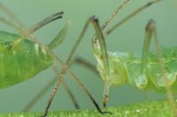 La vie des pucerons : toute une histoire | EntomoScience | Scoop.it