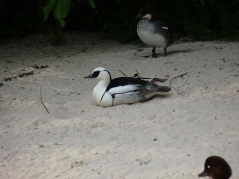 harle - Photos d'oiseaux : Harle piette - Mergellus albellus - Smew   Fauna Free Pics - Public Domain - Photos gratuites d'animaux   Scoop.it