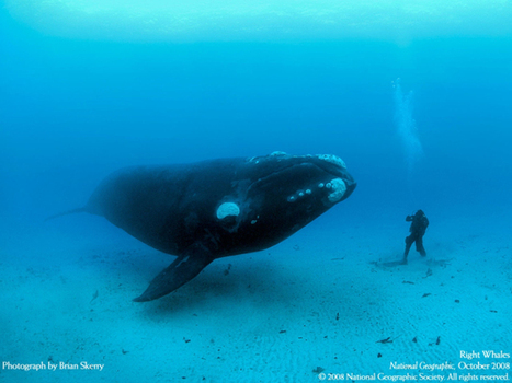 Southern Right Whale Facts Cape Town Simon's Town | Saving Right Whales | Scoop.it