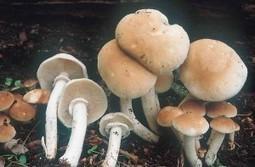 Cultiver le pholiote du peuplier | Dossier champignons comestibles