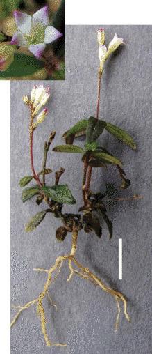 Spigelia genuflexa, une nouvelle espèce de plante, se fait... jardinier | Biodiversité & Relations Homme - Nature - Environnement : Un Scoop.it du Muséum de Toulouse | Scoop.it