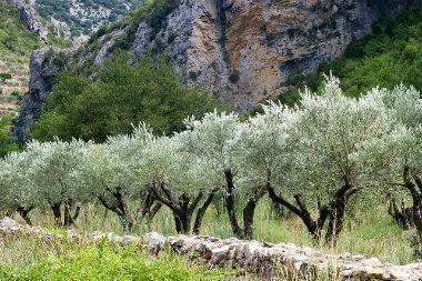 Xylella fastidiosa : la préfecture de Corse annonce de nouvelles mesures de lutte | EntomoNews | Scoop.it