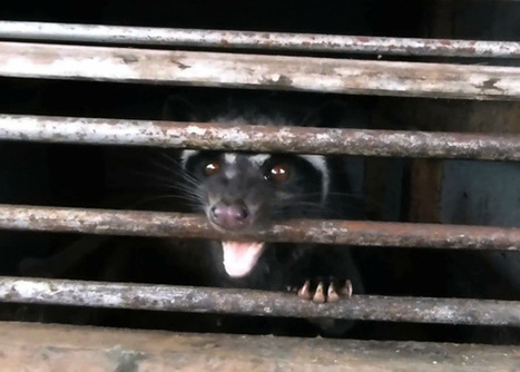 Civets Suffering NOW for Cruel Kopi Luwak Coffee | Nature Animals humankind | Scoop.it