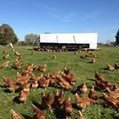 QLD government increases free range densities by 667 percent | Hospotality Industry | Scoop.it