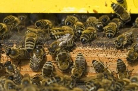 80.000 abeilles sur le toit de la maison communale d'Etterbeek - L'Avenir   Bee'O Press   Scoop.it