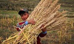 Peruvian government and farming communities commit to conserving quinoa diversity | Agricultural Biodiversity | Scoop.it