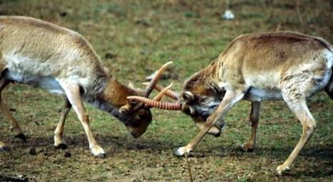 Saiga Saga - Conservation Articles & Blogs - CJ   Wildlife and Conservation   Scoop.it