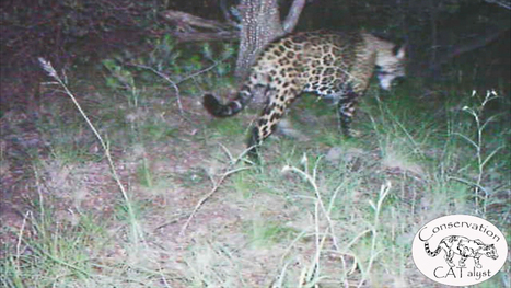 Only Known Jaguar in U.S. Filmed in Rare Video | Biodiversity protection | Scoop.it