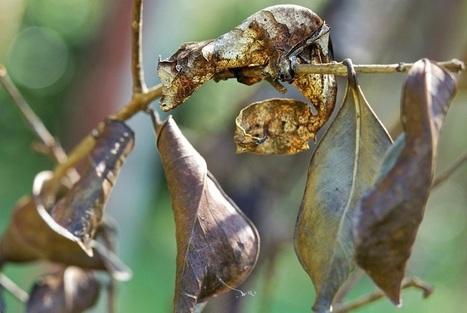 Insectos diminutos escondidos entre las hojas y los árboles demuestran que son los maestros del camuflaje | Bichos en Clase | Scoop.it