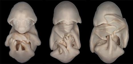 Adorable Alien-like Bat Embryos | Strange Animals | Strange animals | Scoop.it