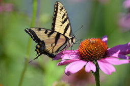 Urbanization, higher temperatures can influence butterfly emergence patterns | Stad@Natuur | Scoop.it