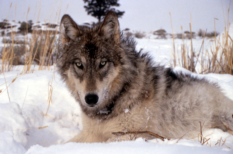 Protected no longer, more than 550 gray wolves killed this season by hunters ... - NBCNews.com (blog) | Endangered Species and Habitats | Scoop.it