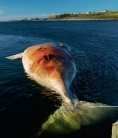 Whale woe in the Atlantic   In Deep Water   Scoop.it