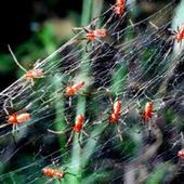 This Week in Sinister Evolutionary Leaps: Cooperative Spiders   Daily Crew   Scoop.it