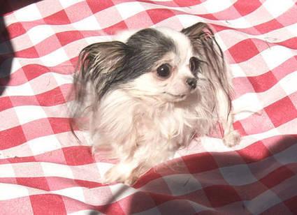 World's Smallest Dog | Strange days indeed... | Scoop.it