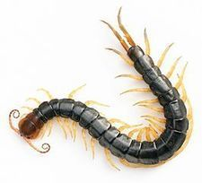 Centipede venom trumps morphine in mouse study of pain : Spoonful of Medicine | Ancient Health & Medicine | Scoop.it