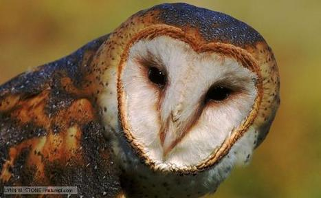 BBC Nature - Barn owl videos, news and facts | All about nature | Scoop.it