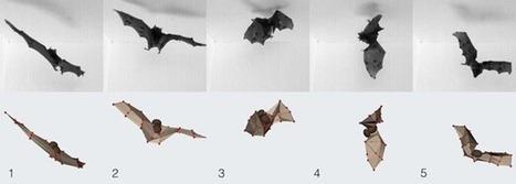 Comment les chauves-souris arrivent-elles à atterrir la tête en bas / les pieds en l'air ? - GuruMeditation | De Natura Rerum | Scoop.it